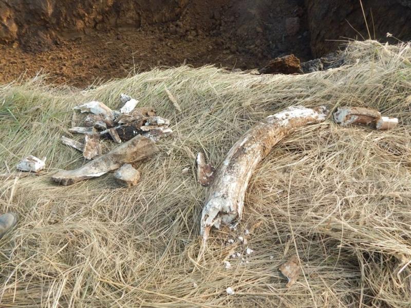 В Канашском районе экскаваторщик нашел в земле бивень мамонта